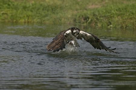 bird osprey: Osprey, Pandion haliaetus, single bird diving for fish, Finland
