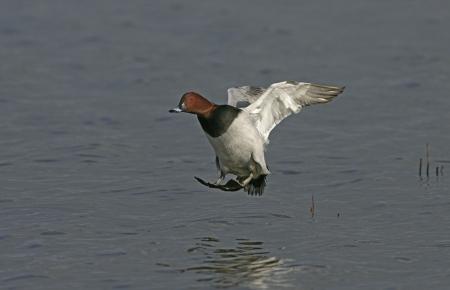 aythya ferina: Pochard, Aythya ferina, single male in flight, UK