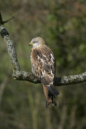 milvus: Red kite, Milvus milvus, single bird on branch, Wales, UK
