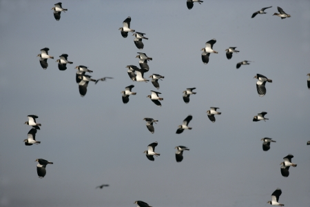 lapwing: Northern lapwing, Vanellus vanellus, group of birds in flight, Midlands