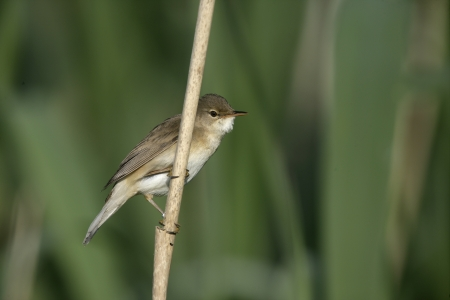 Reed warbler, Acrocephalus scirpaceus, single bird on reed, Wales Stock Photo