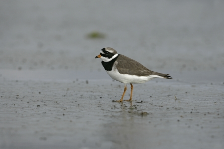 ringed: Ringed plover, Charadrius hiaticula, single bird by water,