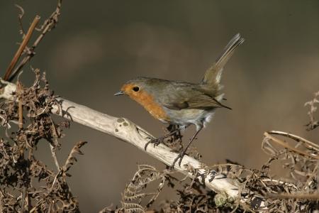 rubecula: Robin, Erithacus rubecula, single bird on branch, West Midlands,