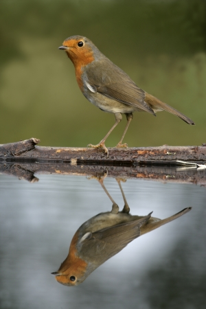 rubecula: Robin, Erithacus rubecula, single bird by water, West Midlands,  Stock Photo