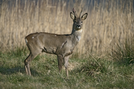 capreolus: Roe deer,  Capreolus capreolus, single male by reeds, Dorset