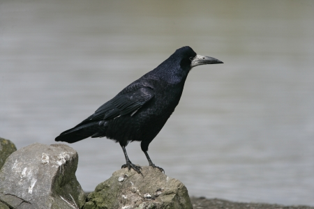frugilegus: Rook, Corvus frugilegus, single bird on rock, Gloucestershire Stock Photo