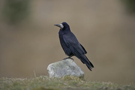 frugilegus: Rook, Corvus frugilegus, single bird on rock, Scotland, Gloucestershire