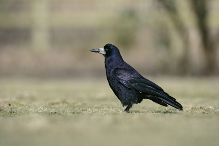 frugilegus: Rook, Corvus frugilegus, single bird on grass, Gloucestershire