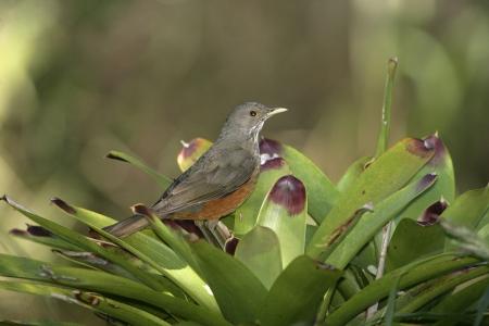 turdus: Rufous-bellied thrush, Turdus rufiventris, single bird on branch, Brazil