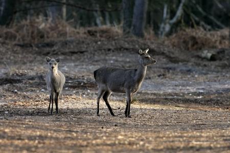 cervus: Sika deer, Cervus nippon, two mammals, Dorset, UK