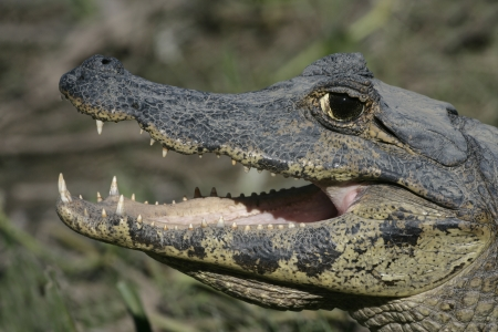 spectacled: Spectacled caiman, Caiman crocodilus, single reptile head shot, Brazil