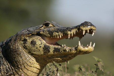 caiman: Spectacled caiman, Caiman crocodilus, single reptile head shot, Brazil