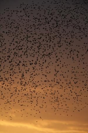 roost: Starling, Sturnus vulgaris, Brighton pier roost, Sussex, UK,  Autumn