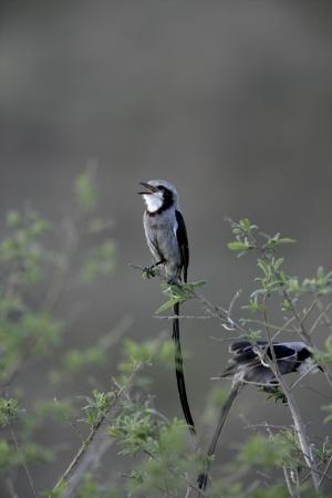 tiran: -Streamer tailed tiran, Gubernetes yetapa, enkele vogel op tak, Brazilië