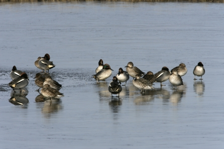 anas: Teal, Anas crecca, group birds on ice, Gloucestershire, Winter