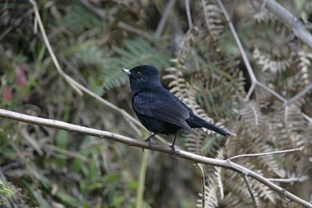 tiran: Fluwelig zwart-tiran, Knipolegus nigerrimus, enkele vogel op baars, Brazilië