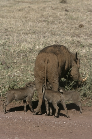 youngs: Warthog with youngs, Tanzania Stock Photo