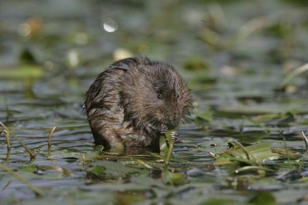 vole: Water vole by water Stock Photo