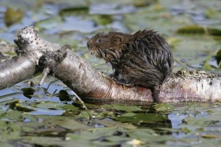 vole: Water woelmuis door water