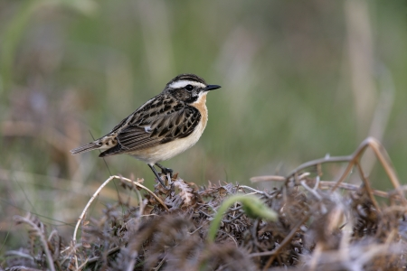 Whinchat on perch