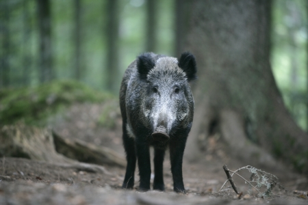 scrofa: Wild boar, Sus scrofa, single mammal in wood, Germany