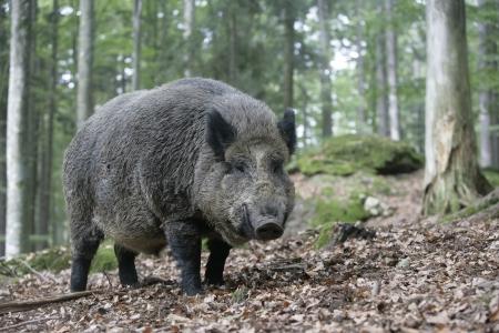 boar: Wild boar
