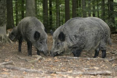 scrofa: Wild boars Stock Photo