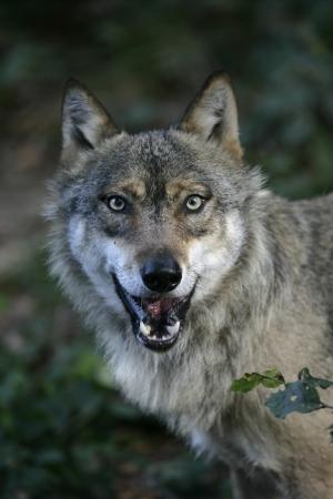 회색 늑대, 큰 개자리 루 푸 스, 나무 하나, 포유류, 포로