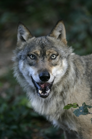 Grey wolf, Canis lupus, single mammal in wood, captive