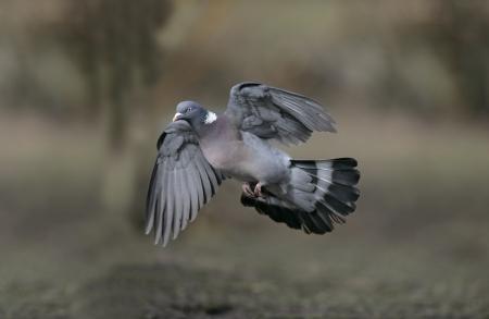Wood pigeon, Columba palumbus, single bird in flight, UK
