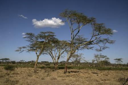 fever plant: Yellow fever tree,  Acacia xanthophloea, Tanzania