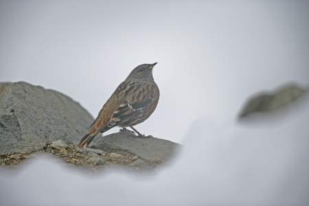 prunella: Alpine accentor, Prunella collaris, single bird on rock, Japan