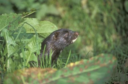 mink: American mink, Mustela vison, single mammal