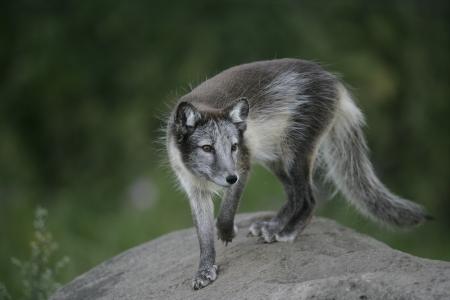 arctic fox: Arctic fox, Alopex lagopus, single mammal on rock,