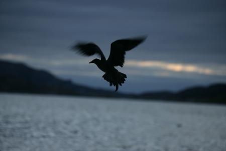 stercorarius: Arctic skua, Stercorarius parasiticus, single bird in flight, Norway Stock Photo