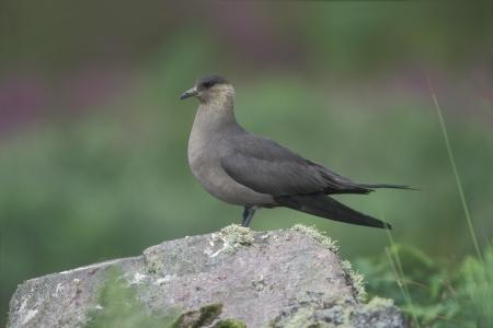 stercorarius: Arctic skua, Stercorarius parasiticus, dark phase, single bird on rock, Handa Scotland Stock Photo