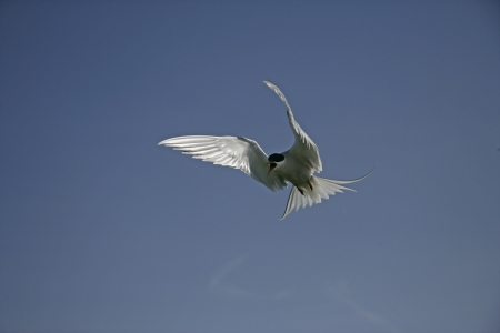 Arctic tern, Sterna paradisaea, single bird in flight, Northumberland UK       photo