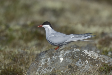 Arctic tern, Sterna paradisaea, single bird on rock, Northumberland UK       photo
