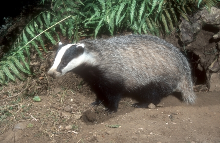 Badger, Meles meles, single mammal, UK