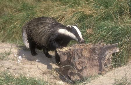 zoogdier: Badger, Meles Meles, enkel zoogdier, UK