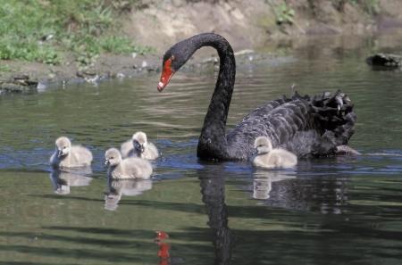 cygnus atratus: Black swan, Cygnus atratus, bird on water with young,