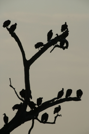 roost: Black vulture, Coragyps atratus, group of birds at roost, Brazil