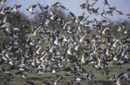 branta: Barnacle goose, Branta leucopsis, group birds in flight,              Scotland