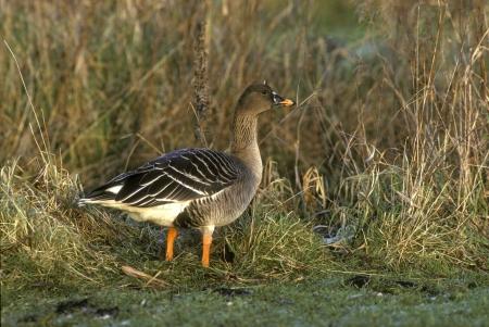 fabalis: Bean goose, Anser fabalis, single bird on grass,