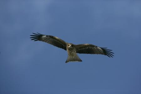 milvus: Black-eared kite, Milvus migrans lineatus, single bird in flight,      Japan       Stock Photo