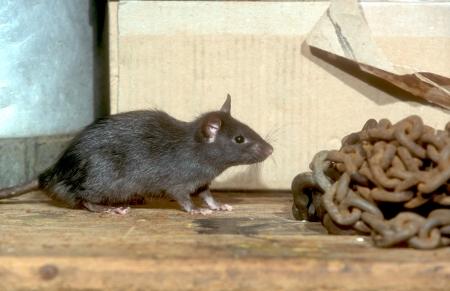 블랙 또는 배 쥐, Rattus의 rattus, 하나의 포유 동물 스톡 콘텐츠