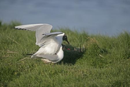 larus ridibundus: Black-headed gull, Larus ridibundus. two birds mating,    Stock Photo