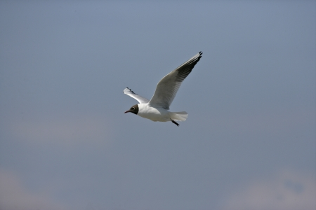 larus ridibundus: Black-headed gull, Larus ridibundus, single bird in flight, Texal, Holland