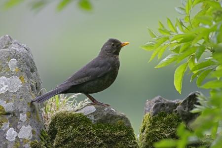 turdus: Blackbird, Turdus merula, single bird on rock