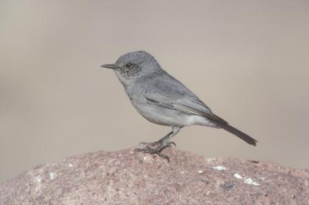 bird of israel: Blackstart,  Cercomela melanura, sinle bird on rock, Israel